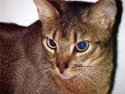 Shorthaired Abyssinian