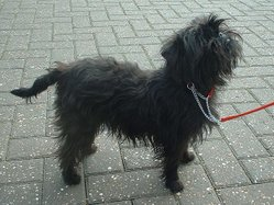 Black is the most common coat colour of the Affenpinscher