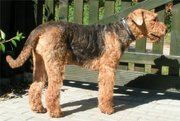 This Airedale's tail is natural (undocked).