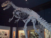 A replica Allosaurus skeleton at a New Zealand museum