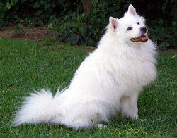 The American Eskimo Dog has a trademark white coat and triangular, pointed ears.