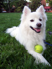American Eskimo Dogs are always ready to play.