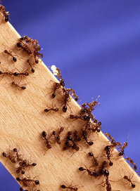 Fire ants, originally from South America, are one of the most aggressive species of ants.