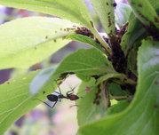 Ant cultivating aphids