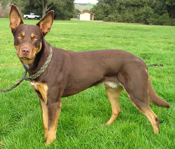 A red and tan working-line Kelpie