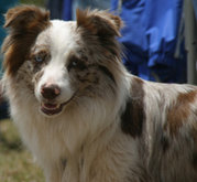 Red merle and white Aussie