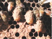 Peanut-like queen brood cells are extended outward from the brood comb