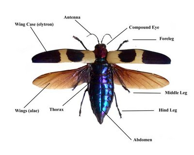 Overview of the dorsal anatomy of a Beetle