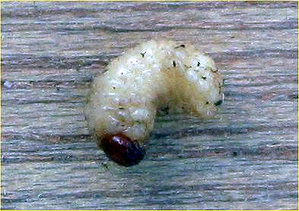Larva of the cockchafer (Melolontha melolontha)