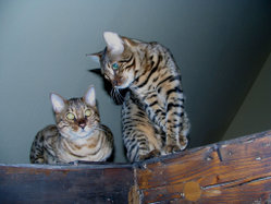 Two male Bengal Cats.
