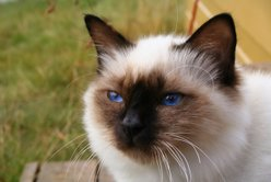 A sealpoint Birman's face