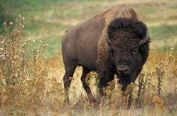 A North American bison