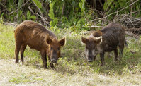 Wild pigs introduced into Florida.