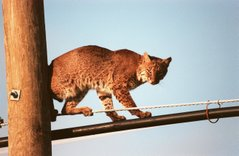 A male Bobcat in an urban surrounding