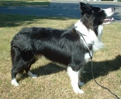 A Border Collie bred to Kennel Club (UK) standards
