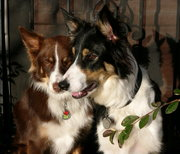 Border Collies commonly have red and white or black and white coats.