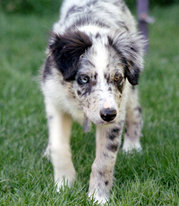 Blue merle BC puppy at 14 weeks using herding eye (gaze and lowered stance); this dog's eyes are different colors, which is not uncommon in merles.