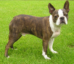 Boston Terrier with brindle coat