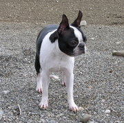 14 month-old Boston Terrier; 10 lb