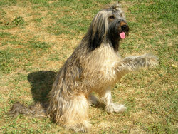 Briard with natural ears