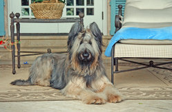 A one year old male Briard with ears cropped