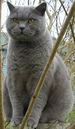 "A blue British Shorthair (""British Blue"")"