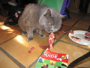 Gretel, a Blue British Shorthair, eating some meat