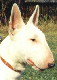 The Bull Terrier's triangular-shaped eyes are unique to this breed