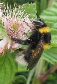 Bombus hortorum queen on bramble