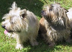 Two Cairn Terriers showing variations in coat color.