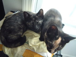 Two tortoiseshell kittens.