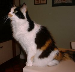 A tortoiseshell-and-white (calico) cat.