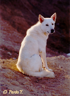 Canaan dog.picture by Yigal Parado http://www.pardo.co.il