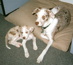 Young red-and-white Catahoulas