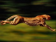 A running cheetah