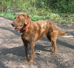 Chesapeake Bay Retrievers have a distinctive curly or wavy coat that is often oily-looking.