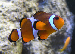 Clownfish in a zoo aquarium