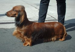 Long-haired standard dachshund