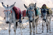 Donkeys carrying loads in Tibet