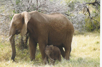 Female African Elephant with calf, in Kenya.