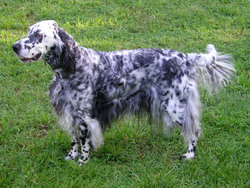 A white and black English Setter