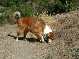 Female Sable English Shepherd doing one of her jobs, hunting vermin.