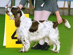 An English Springer Spaniel. In countries where docking is allowed, the breed's tail is usually docked.