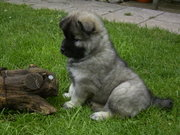 "Eurasier puppy with ""wolf grey"" coat"