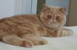 Cream tabby male exotic cat