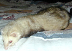 "A domestic ferret ""resting"" momentarily."