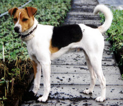 This tri-coloured dog of Fox Terrier type exhibits several traits characteristic of the descendent breeds, including an inherited instinct for digging.