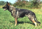 Black Sable (or gray) GSD, the original color and still common in working lines