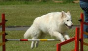 White German Shepherd Dog