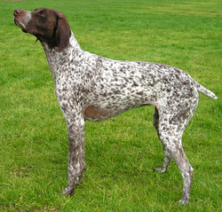 This liver-and-white German Shorthaired Pointer has a ticked coat and a patched head.